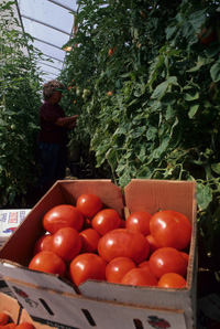 Box of ripe harvested tomatoes