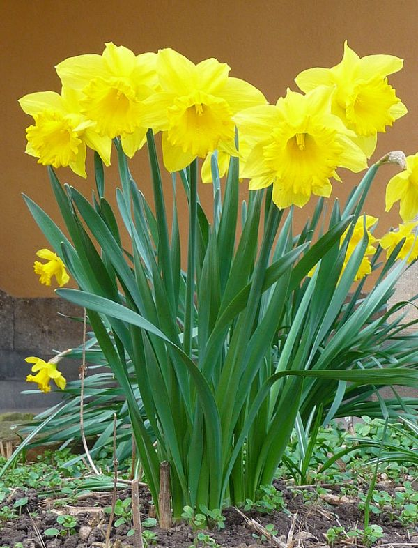 Plant fall bulbs now for spring color north carolina cooperative daffodils in bloom mightylinksfo