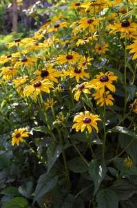 Perennial black eye susan