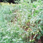 This tomato crop has lost its lower leaves to fungal diseases. The weeds growing adjacent to the crop row have likely prolonged leaf wetness from morning dew, thus providing a more favorable environment for fungal growth on the tomato foliage. From Mark Schonbeck, Virginia Association for Biological Farming.