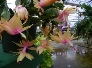 Christmas cactus blossoms