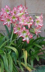 Amaryllis in flower.