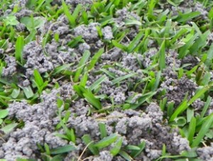 Earthworm castings in turf.