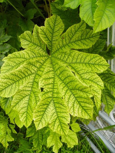 Chlorotic leaf