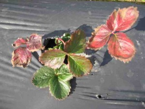 Strawberry Plants with discolored leaves
