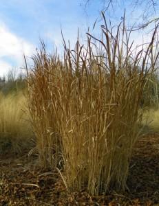 Switchgrass in winter