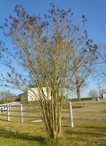 Pruning A Crape Myrtle North Carolina Cooperative Extension