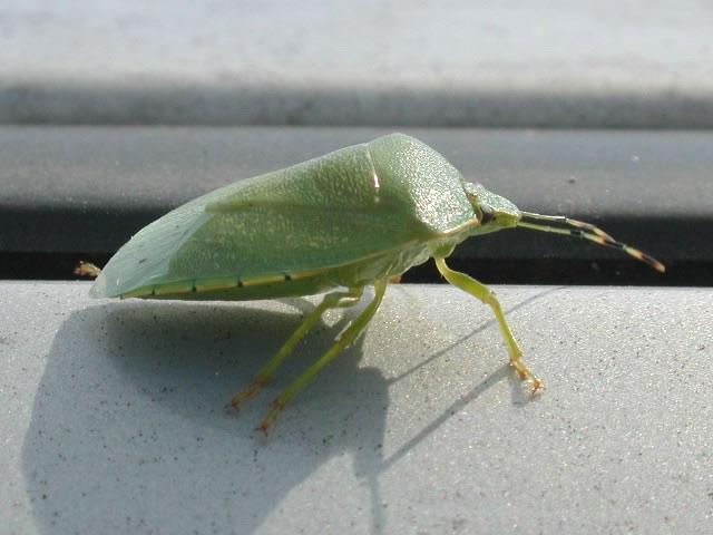 Green_stink_bug5