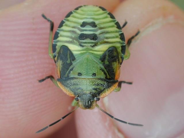 Green_stink_bug_nymph3