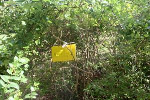 Blueberry maggot trap baited with ammonium bicarbonate. Photo: HJB 2010
