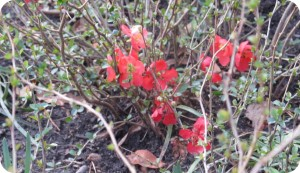 Low growing flowering quince in the landscape