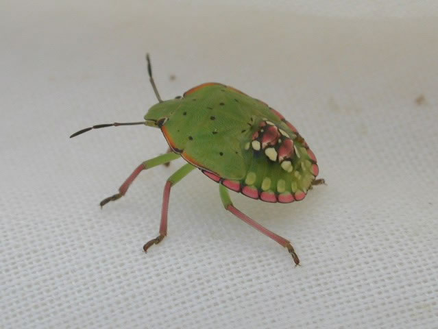 Southern_green_stink_bug_nymph