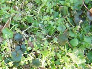 Winter weeds in turf
