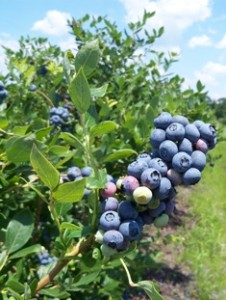 Fruits And Berries You Can Grow North Carolina