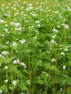 Buckwheat is a fast growing summer cover crop.