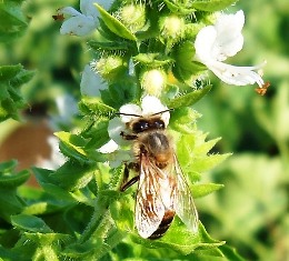 Because they break down quickly, natural insecticides are less likely to impact honeybees and other beneficial insects.
