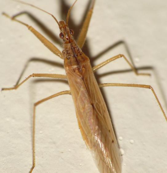 Adult Damsel bug. Photo J. C. Jones.