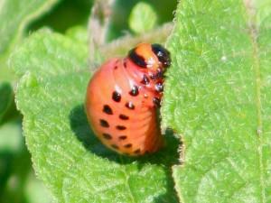 Colorado potato beetle larvae