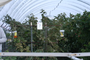 Cover photo for More on Spotted Wing Drosophila Monitoring: How Many Traps Should Growers Use?