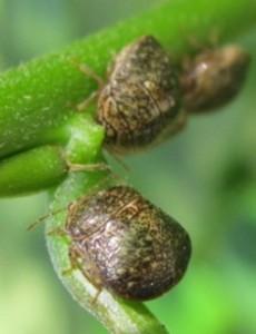 Kudzu bugs
