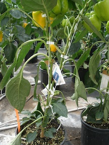 Integrated Pest Management in greenhouse pepper production.