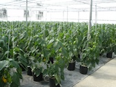 Pepper production at Banner Greenhouses in Nebo, NC