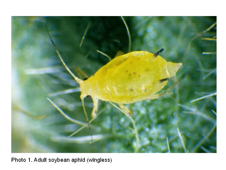 Soybean Aphid Description Colonies of Soybean Aphid