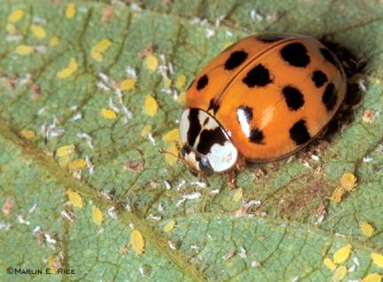 Adult lady beetle feeding on soybean aphids. Photo by Marlin E. Rice