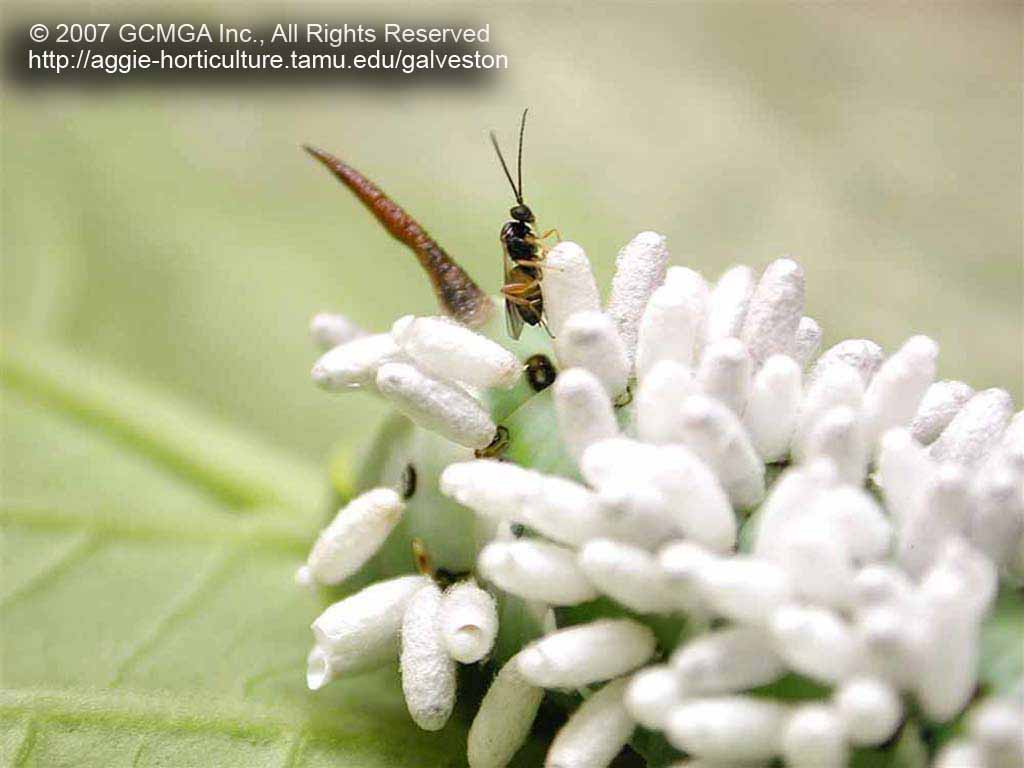 Adult Braconid wasp emerging from pupae on a parasitized host. Photo by Galvanston County Master Gardeners, TX