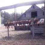 Hog livers