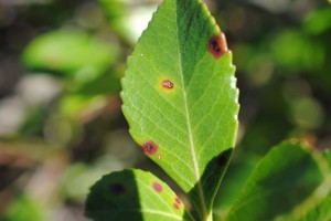 indian hawthorn leaf spot