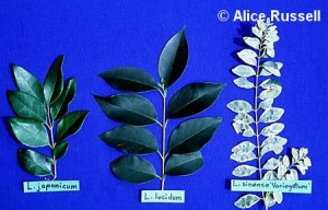 Invasive Ligustrum Species