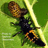 Larval lady beetle preying on bean leaf beetle larvae