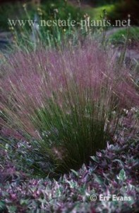 Pink Muhly Grass