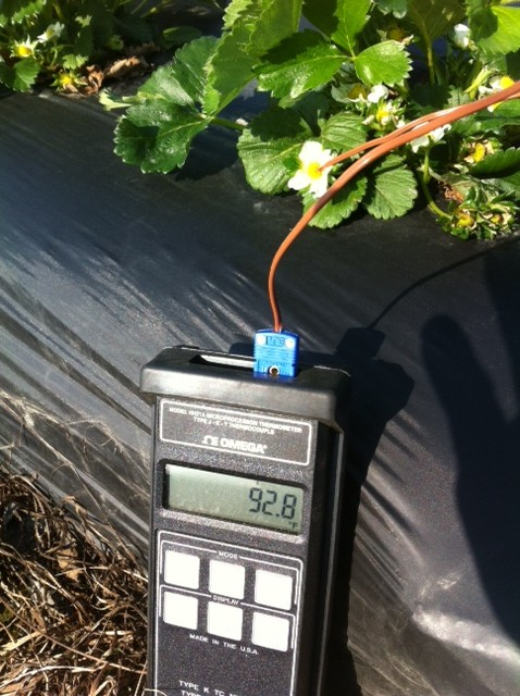 Figure 1. At 9:30 a.m. (EST) a strawberry grower in Ruther Glenn, VA (north of Richmond) recorded a blossom temperature of 92.8 F on a Chandler plant.