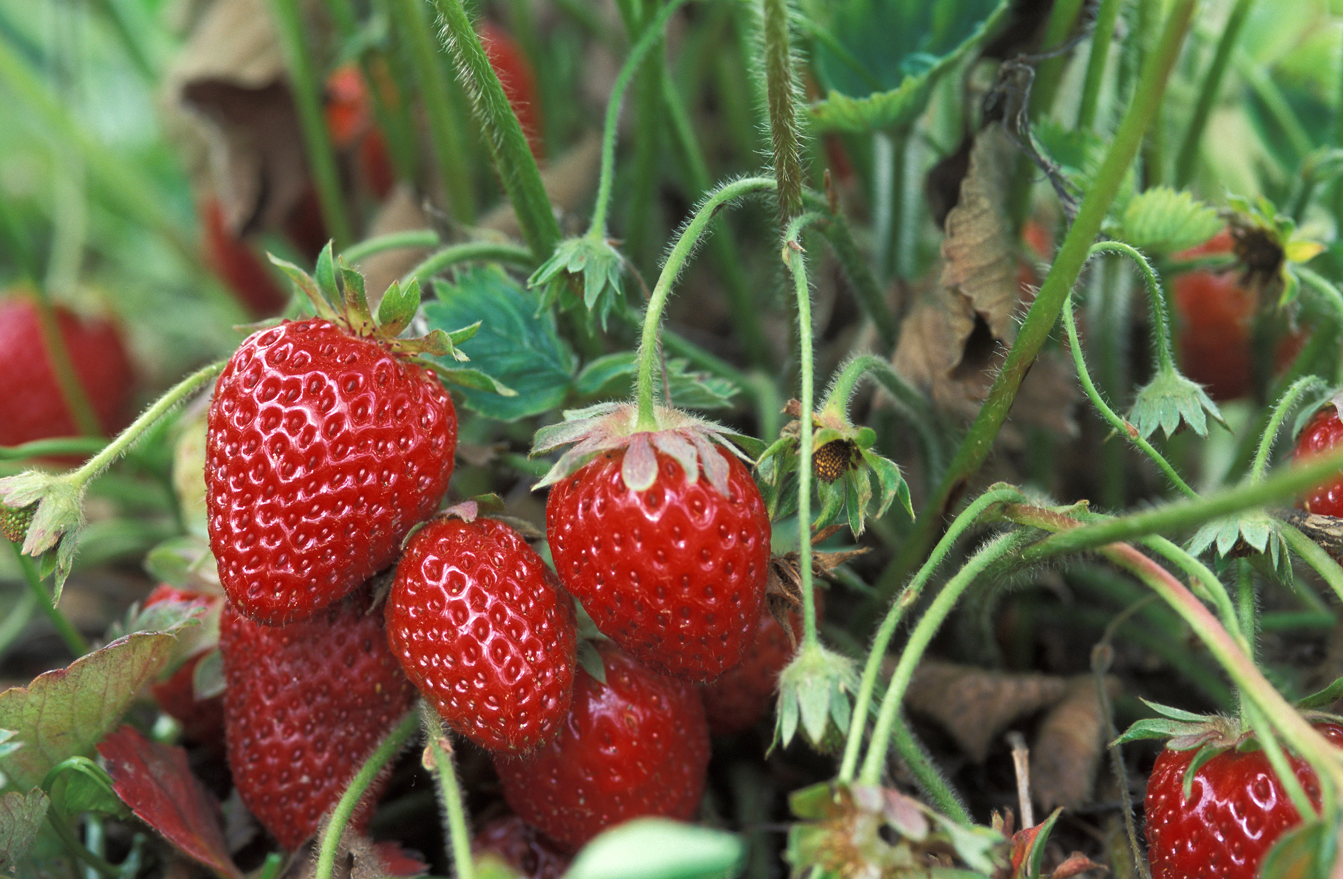 Interested in growing strawberries at home. How do you like this business idea 4