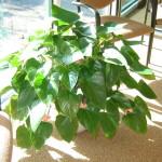 224_Antherium_Houseplant