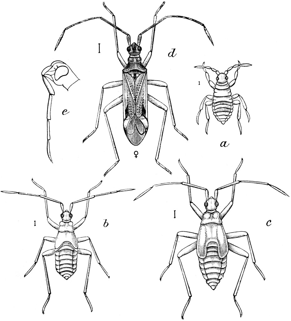 Life stages of Tupiocoris notatus. Taken from Quintance 1898