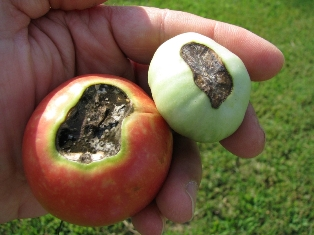 Blossom end rot on tomato fruits.