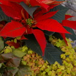 Bright Red Poinsettias 3