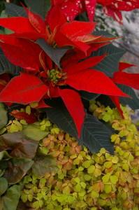 Bright Red Poinsettias 3