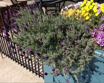 Lavender in a container garden