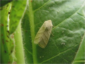 Tobacco budworm moth. Photo by Clyde Sorenson, NC State University Department of Entomology.