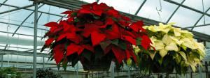 Poinsettia hanging basket