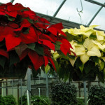 Poinsettia hanging baskets