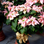 Large container poinsettia