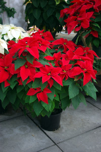 Poinsettias in larger pot