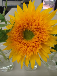Sunflower 'Goldy Double'