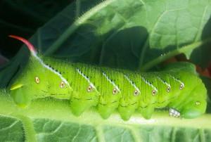 Tobacco Hornworm