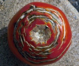 Concentric cracking of tomato fruit